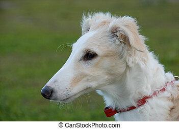 puppy barzoi - portrait of a purebred puppy barzoi. Focus on...