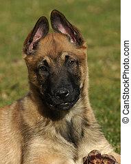 puppy belgian shepherd - portrait of a purebred puppy ...