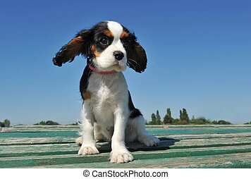 puppy cavalier king charles - portrait of a purebred puppy...