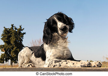 springer spaniel - portrait of a purebred springer spaniel...