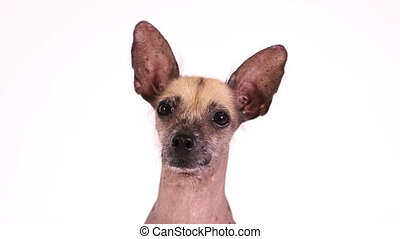 Portrait of a purebred Xoloitzcuintli dog - Portrait of a ...