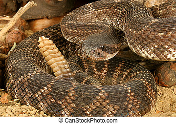 Portrait of a Rattlesnake. - Southern Pacific Rattlesnake...