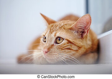Portrait of a red cat with orange eyes.