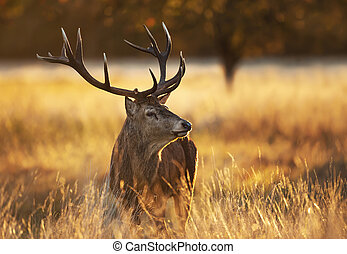 Portrait of a Red deer stag at sunrise
