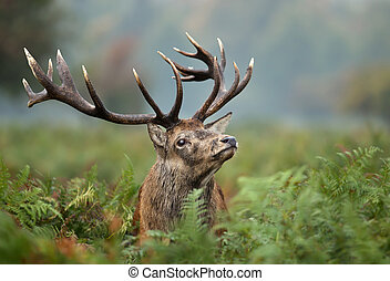 Portrait of a red deer stag - Close up of a red deer stag ...