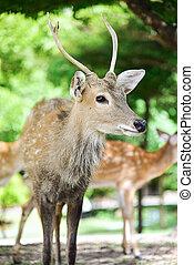 Red Deer - Portrait of a Red Deer Stag