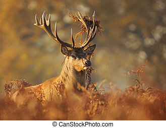 Red deer with grass on antlers in autumn