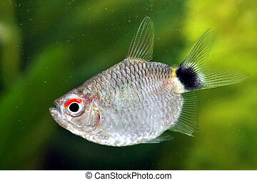 Portrait of a Red Eye Tetra