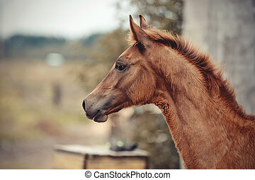 Portrait of a red foal sporting breed. Small horse.