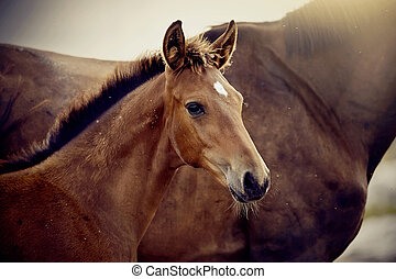 Portrait of a red foal sporting breed with a mare. Small ...