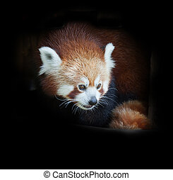 Portrait of a red panda on a black background