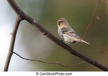 redpoll on a tree branch
