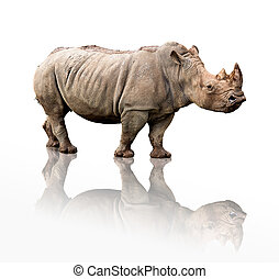 portrait of a rhinoceros isolated on white
