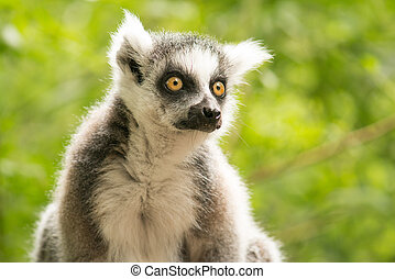 Portrait of a ring-tailed lemur looking away