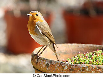 Portrait of a Robin - Portrait of a young Robin searching...