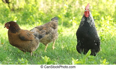 Portrait of a rooster and chickens