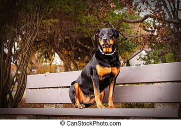 Portrait of a Rottweiler - Rottweiler sitting on a bench in...