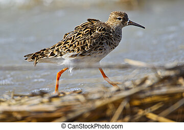 Portrait of a ruff (philomachus pugnax).