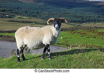 Portrait of a Scottish blackface sheep, Quirain, Isle of...