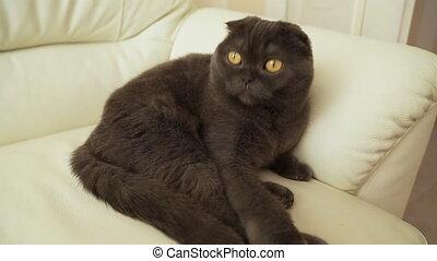 Portrait of a Scottish fold cat