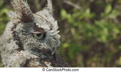 Portrait of a Screech Owl. 4K broadcast quality file.