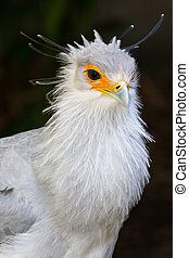 Portrait of a Secretary Bird of Prey