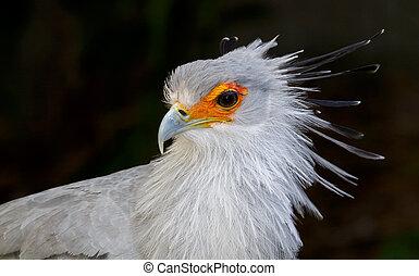 Portrait of a Secretary Bird of Prey