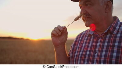Portrait of a Senior adult farmer holding an ear of wheat and grain at sunset. To rotate and to consider grains in the solar rays of the sunset in slow motion. High quality 4k footage