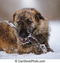 Portrait of a shaggy dog gnawing a stick on snow.