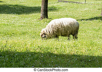 portrait of a sheep in a meadow