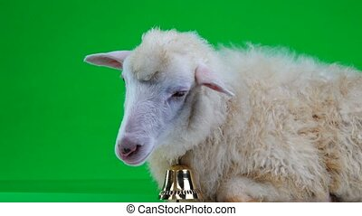 portrait of a sheep with a bell