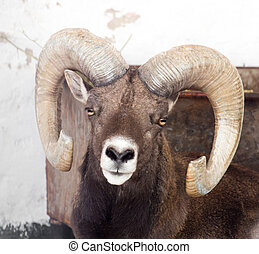 portrait of a sheep with horns