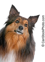 portrait of a sheltie dog