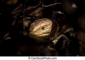 Portrait of a sheltopusik (legless lizard) on a sunny day
