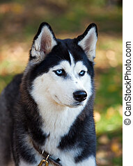 Portrait of a Siberian Husky dog outdoors
