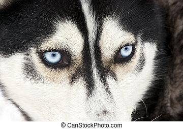 Portrait of a siberian Husky dog