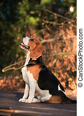 Portrait of a sitting beagle dog in profile