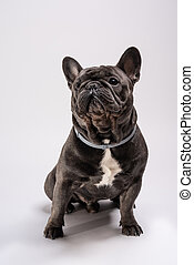 Portrait of a sitting blue french bulldog looking curious to the left side.