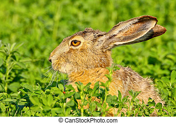 Portrait of a sitting brown hare (lepus europaeus).