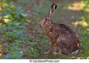 Portrait of a sitting brown hare