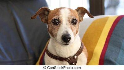 Portrait of a sitting dog Jack Russell terrier - Dog Jack...