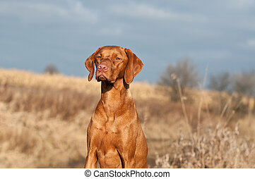 Portrait of a Sitting Vizsla Dog