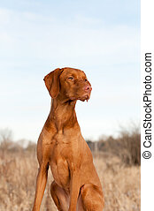 Portrait of a Sitting Vizsla Dog in Autumn