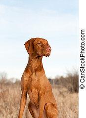 Portrait of a Sitting Vizsla Dog in Autumn