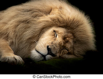 Portrait of a sleeping male white lion