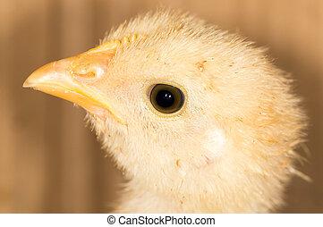 Portrait of a small chicken