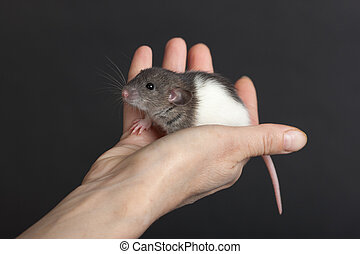 small rat in the palm