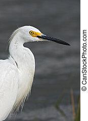 Snowy Egret - Portrait of a Snowy Egret (Egretta thula).