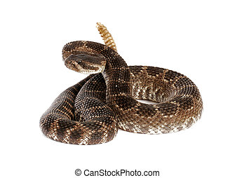 Portrait of a Southern Pacific Rattlesnake (Crotalus viridis helleri) on white background.