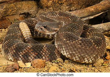 Portrait of a Southern Pacific Rattlesnake (Crotalus viridis helleri).